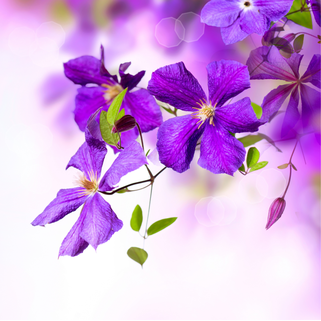 Growing Clematis for Beginners
