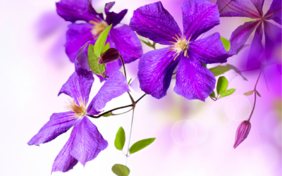 Clematis for Beginners